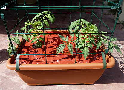 12 day tomato growth picture