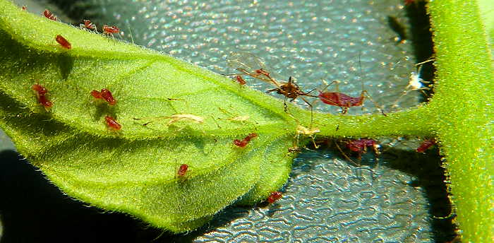 Many aphids on one leaf picture