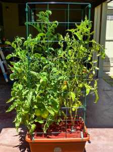Tomato plant growth picture