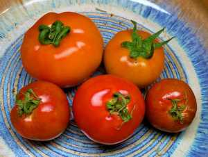 Tomatoes from both plants picture