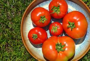 Six Celebrity tomatoes picture